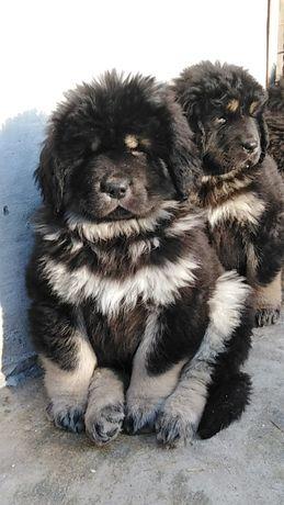 Тибетский Мастиф с документами