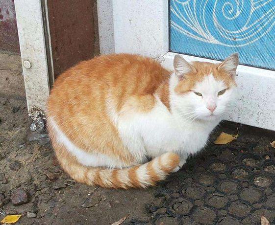 Отдам бело - рыжего кота. Срочно!