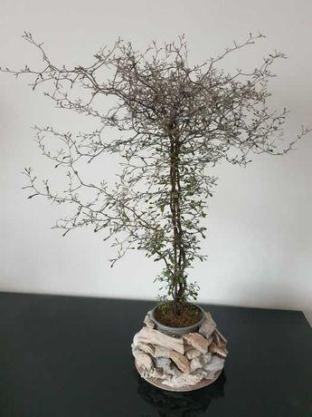 corokia drzewka bonsai unikat