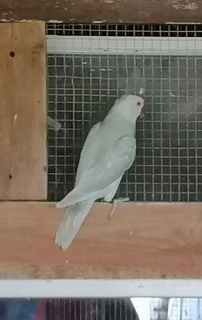 Papuga aleksadretta obrozna  Samiec z dna