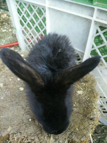 Sprzedam młode króliki mieszańce
