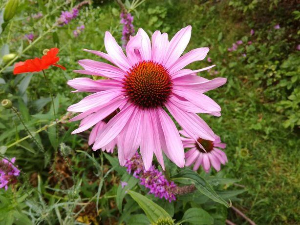 Jeżówka purpurowa różowa lub biała nasiona