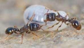 дерновый муравей - Tetramorium caespitum