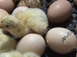 Инкубационные яйца бройлеров Росс 308, 708