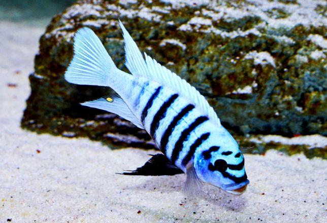 M,F Maison Reef WF Malawi Pyszczaki Olsztyn sklep zoologiczny Pirania