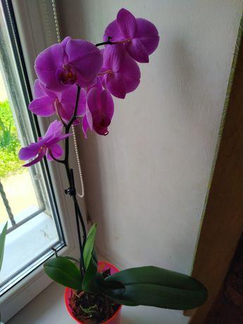 Меняю свою орхидею на вашу другого цвета