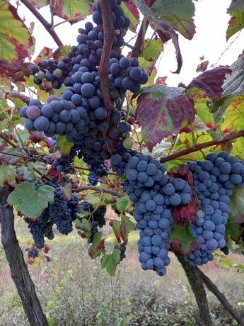 Uvas para vinho verde tinto 0,50€kg
