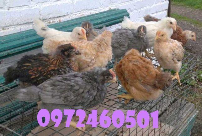 Продам підрощені курчата 55 грн.