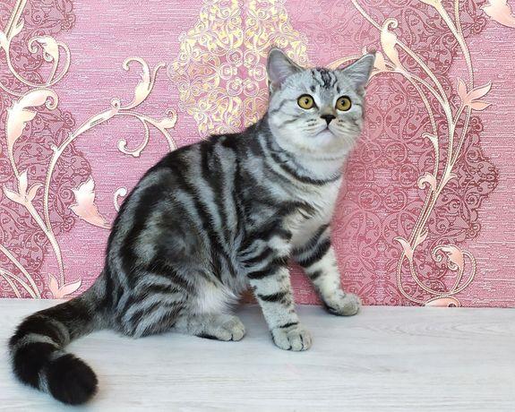 Шотландский2 котик в серебр.мраморном окрасе