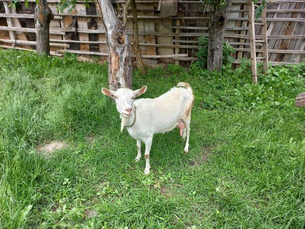 Продається коза, безрога