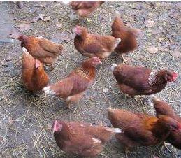 у продажі свіжі яйця для інкубації, кури Шейвер Браун