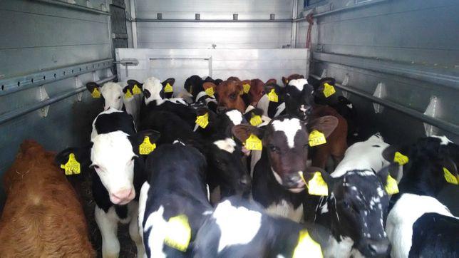 Cielaki, cielęta, byczki i jałówki kolory MM NCB HO waga 55-120 kg