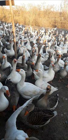 Гусята Легарт Утята Мулард мясояичные цыплята индюшата Мулард Доминант