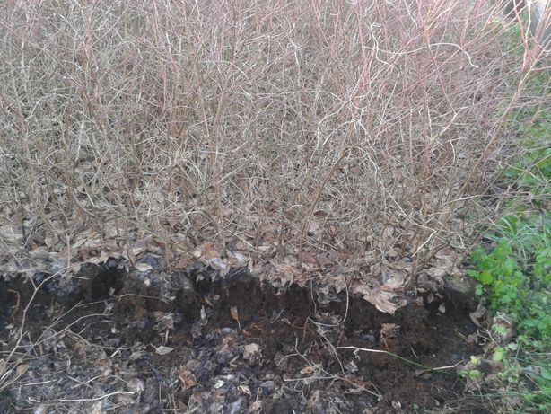 Plantas de mirtilo-variedade Aurora- sem vaso