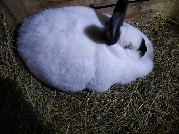 Кролики Каліфорнії