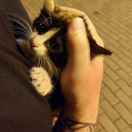 Отдам чёрно белого котёнка ,девочка , 1 месяц
