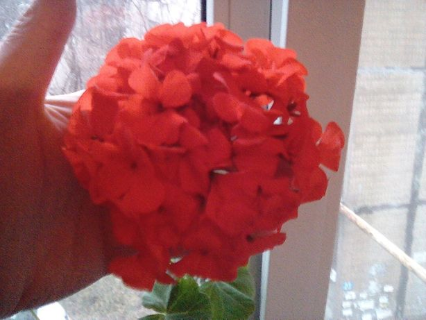 Пеларгония темно красная  яркая   100 руб.