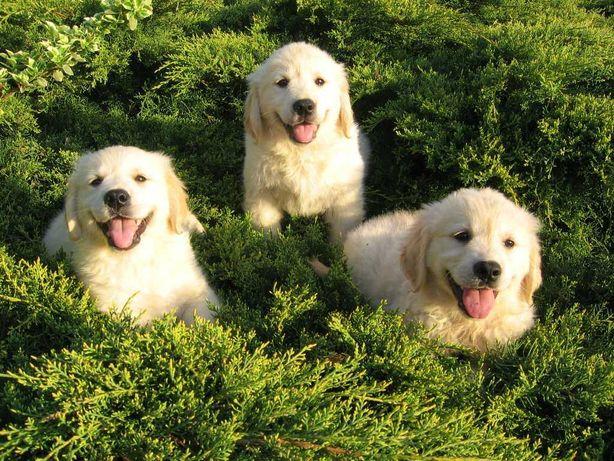 Golden Retriever - Śliczne Rodowodowe Szczeniaczki - Tylko suczki