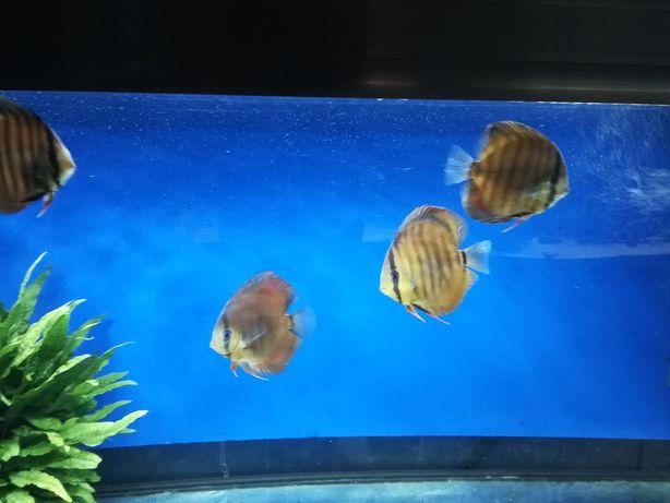 Paletki ryby akwariowe