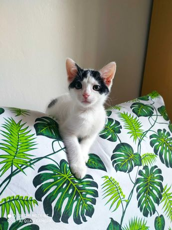 Młody kotek Puszek radosny przyjaciel do adopcji o ładnym umaszczeniu