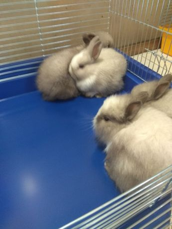 Карликові кролики декоративні.