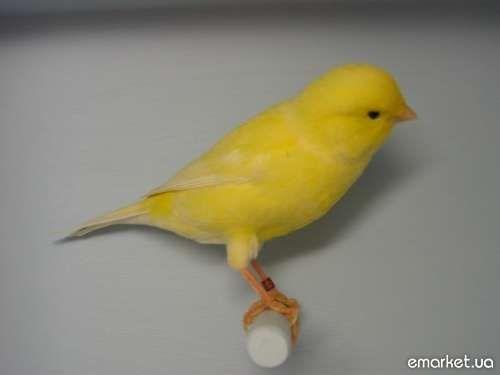 продам кенар (ов) и канарейка (еек) певчие, яркие, мелозвучные птички