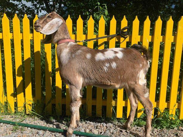 Англо-нубийская коза, англо-нубийский козлик