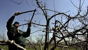 Спил деревьев, обрезка деревьев, кронирование