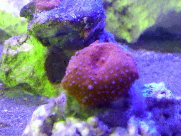 Akwarium morskie szczepki discosoma superman