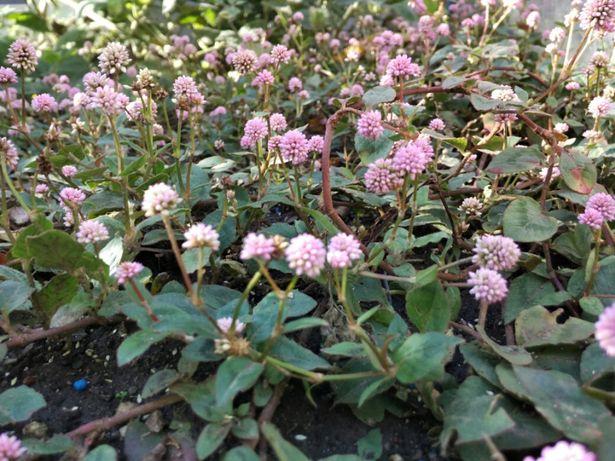 Persicaria capitata (Pink-head knotweed) (Polygonum capitatum)