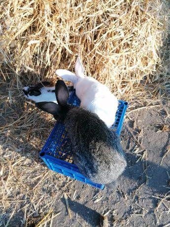Młode króliki mieszańce mięsne