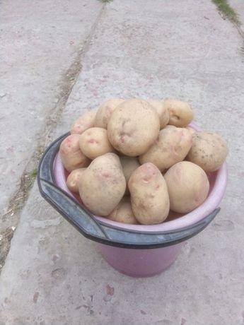 """Продам картофель """"Пикассо"""" с доставкой"""