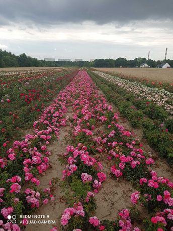 Róże, krzewy róż w doniczkach 60 odmian. Łódź