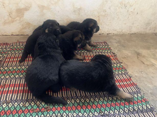 Cachorros Pastor alemao
