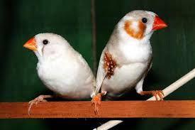 Vendo mandarins machos e fêmeas desponiveis