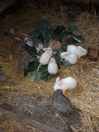Młode króliczki Belg burgun ternandzkie