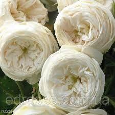 Саженцы роз, шраб Артемис (Artemis)