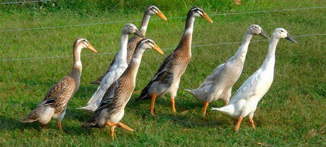 качки індійський бігунок