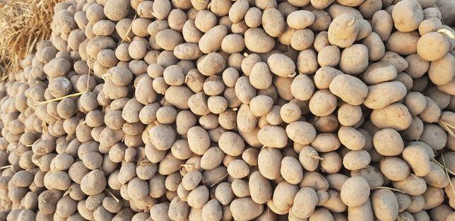 Ziemniaki Denar drobne 35-55mm