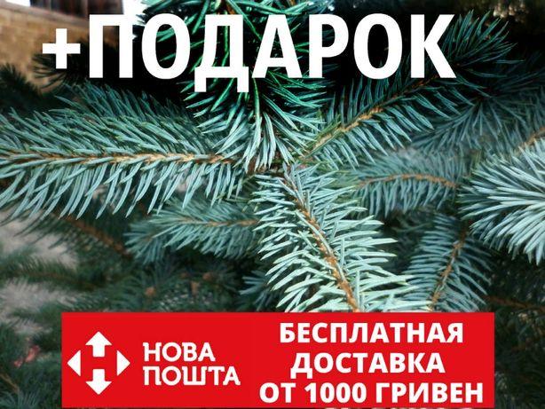 Ель голубая семена (50 шт) (Ель колючая, Pīcea pūngens) + подарок