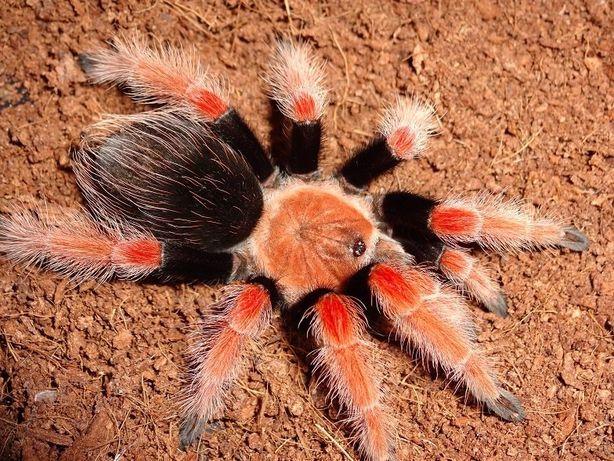 brachypelma boehmei брахипельма боеми (беме) самка паук птицеед павук