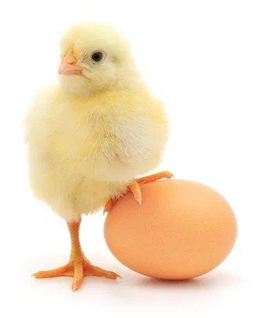 Продам суточных цыплят бройлера