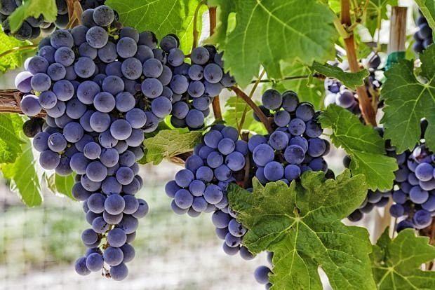 Sadzonki winogron! Winogrono białe czarne, różowe! 3 LETNIE! 70cm
