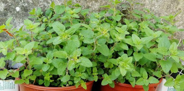 Plantas em vaso ou muda: Orégãos, Alecrim, Cidreira, Maracujá e outros