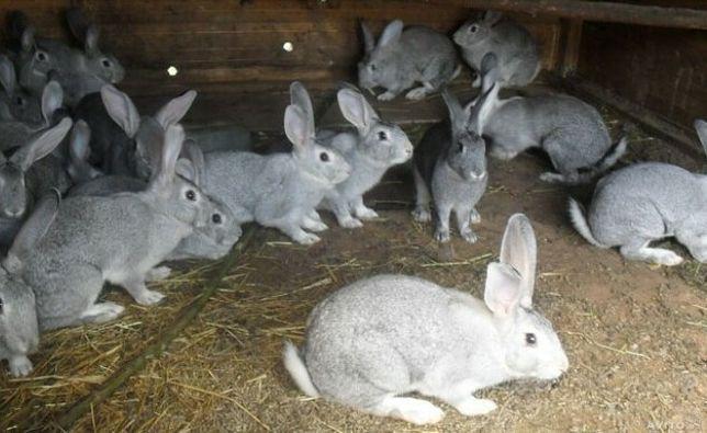 Продам кролів(Європейська шиншила)