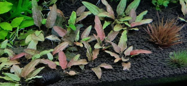 Cryptocoryne green gecko