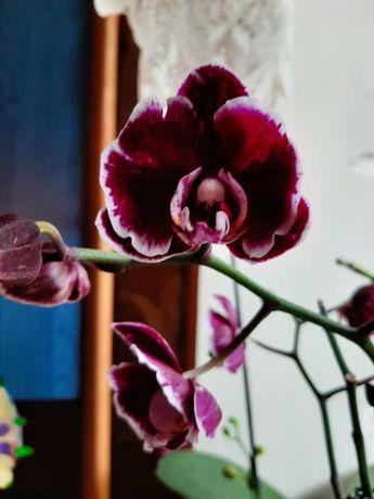 Орхидея Каменная роза