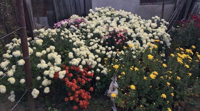 Квіти Хризантеми