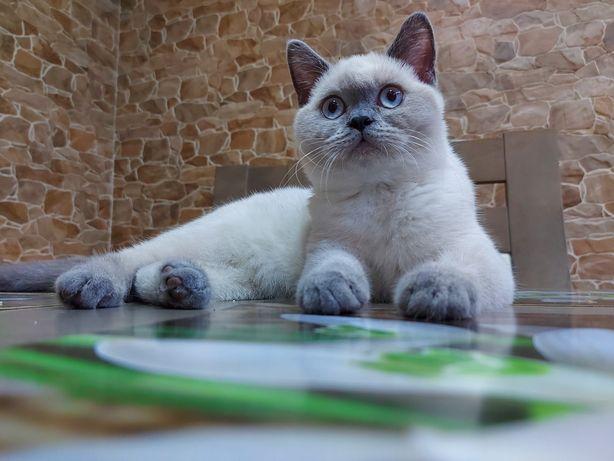 Koty brytyjskie  MAGIC CATS PL mocnej budowy
