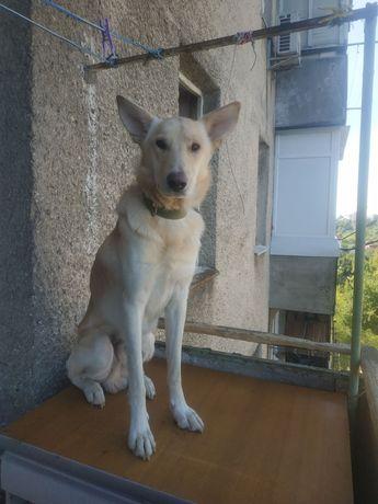 Собаку в добрые руки срочно,хороший друг и охранник